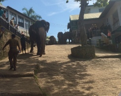 Elephants stomping through town to the river